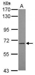 GTX119342 - CD85a / LILRB3