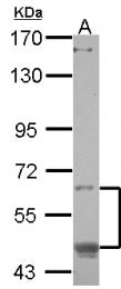 GTX119442 - CREB3L1 / OASIS