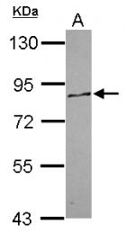 GTX119702 - PCDHA12