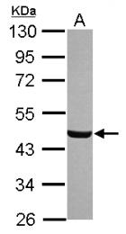 GTX120021 - Brain protein 16