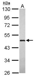 GTX120468 - LYPLA3
