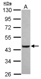GTX120469 - LYPLA3