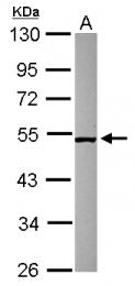 GTX120484 - SMCR7