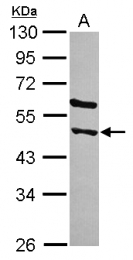 GTX120491 - STAMBPL1
