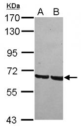 GTX120855 - GRHL1 / LBP32