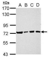 GTX121126 - Ubiquilin-4