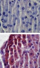 GTX12118 - CD282 / TLR2