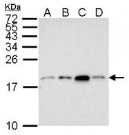 GTX121184 - Histone H3.1