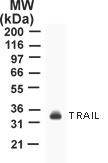 GTX12124 - CD253 / TRAIL