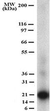 GTX12125 - CD254 / RANKL