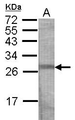 GTX121401 - CRISP3