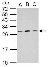 GTX121511 - MRPL18