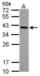 GTX121569 - RFPL2 / RNF79