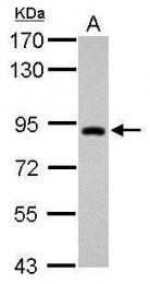 GTX121602 - TRIM42
