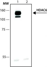 GTX12173 - HDAC6