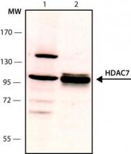 GTX12174 - HDAC7