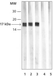 GTX12177 - Histone H3