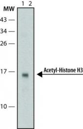 GTX12179 - Histone H3