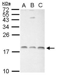 GTX122148 - Histone H3.1