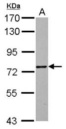 GTX122331 - ZNF418