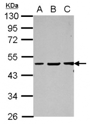 GTX122517 - Vasculin