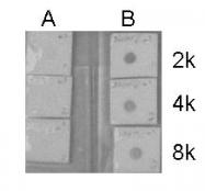 GTX122648 - Histone H3.1
