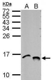 GTX122653 - Histone H4