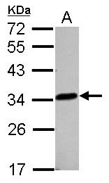 GTX122755 - LACTB2