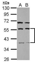 GTX123056 - Secernin-1 (SCRN1)