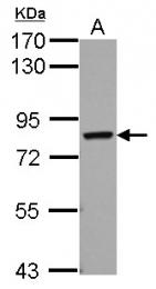 GTX123169 - Protein Red