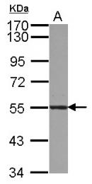 GTX123176 - Atlastin-3
