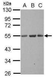 GTX123188 - Synaptotagmin-13