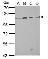 GTX123206 - GRIP1-associated protein 1