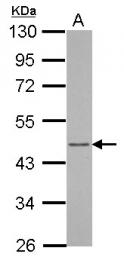GTX123214 - Arfaptin-1