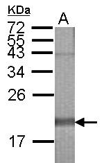GTX123251 - HSPA12B
