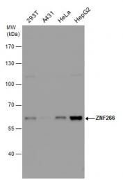 GTX123310 - ZNF266