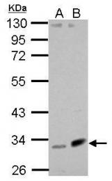 GTX123324 - Fibulin-7