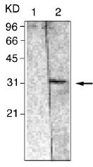 GTX12341 - 14-3-3 protein beta/alpha