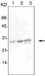 GTX12346 - 14-3-3 protein pan
