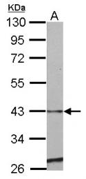 GTX123522 - SERPINE2