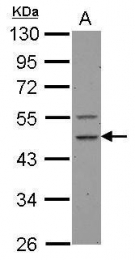 GTX123675 - Caspase-1
