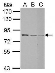 GTX123717 - Protein Red