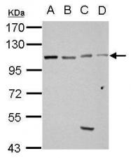 GTX123753 - GRIP1-associated protein 1