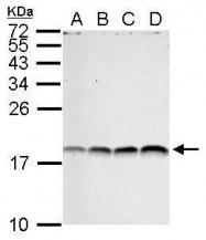 GTX124113 - Histone H3.1