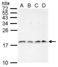 GTX124114 - Histone H3.1
