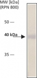 GTX12421 - Cytohesin 2
