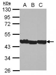 GTX124212 - Actin beta / ACTB
