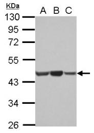 GTX124214 - Actin beta / ACTB