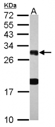 GTX124350 - 14-3-3 protein beta/alpha-B