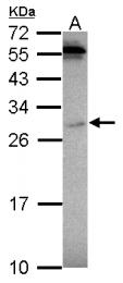GTX124353 - Prohibitin / PHB